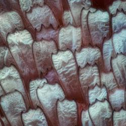 schubben van een vlindervleugel 60x vergroting