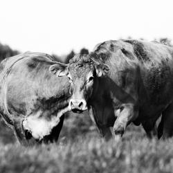 Cow(s?)