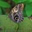 Morpho vlinder