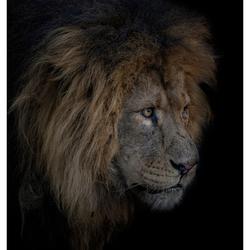 Koning van Burger's Zoo