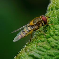 Een zweefvlieg op blad