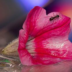 Mier op bloem