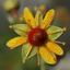 alpen bloem