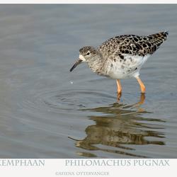 Kemphaan  Philomachus pugnax