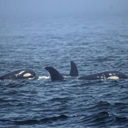 orka familie