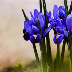 Irissen