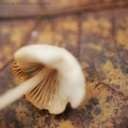 Liggende paddenstoel