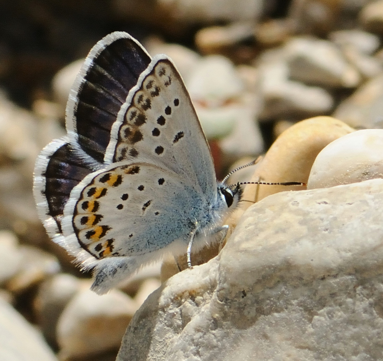 Bewerking: Vlinder - Ook een bekende van onlangs..toch maar even op een betere manier bewerkt.<br /> Van die opkikkertjes wordt ik inmiddels wel vrol