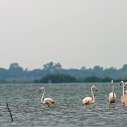 Flamingos in Etang de Vaccares