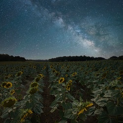 Milky sunflowers