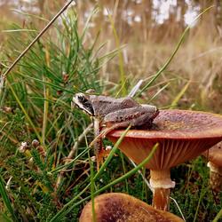 Bruine kikker relaxed op paddenstoel..
