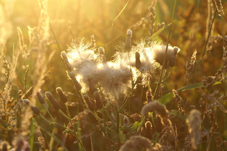 pluizen in de zon - effect met tegenlicht