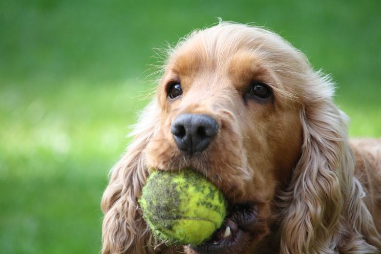 Let's play - Het is lente en Cracker speelt het liefst de hele dag in de tuin met zijn tennisballen.