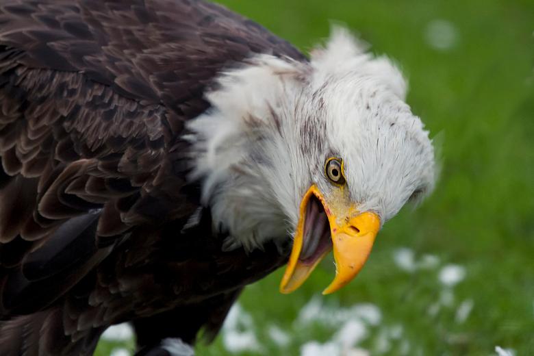 Angry Bird - Deze Amerikaanse zeearend had net een klein vogeltje in stukken getrokken