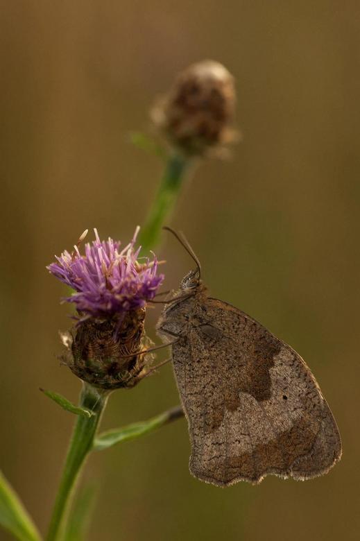 Bruinzandoogje op bloem - dit bruine zandoogje wasd aan het schuilen voor de regen en bleef daardoor droog. Dus jammer genoeg zaten er geen waterdrupp