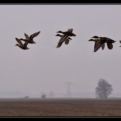 eenden in de vlucht