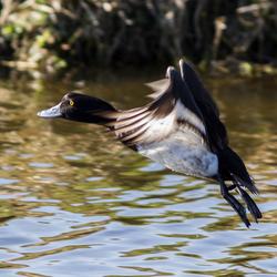 Vliegende Kuif eend