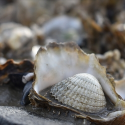 Kokkel in oester