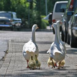 Jonge gansjes aan de wandel