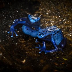 Blauwe pijlgifkikker