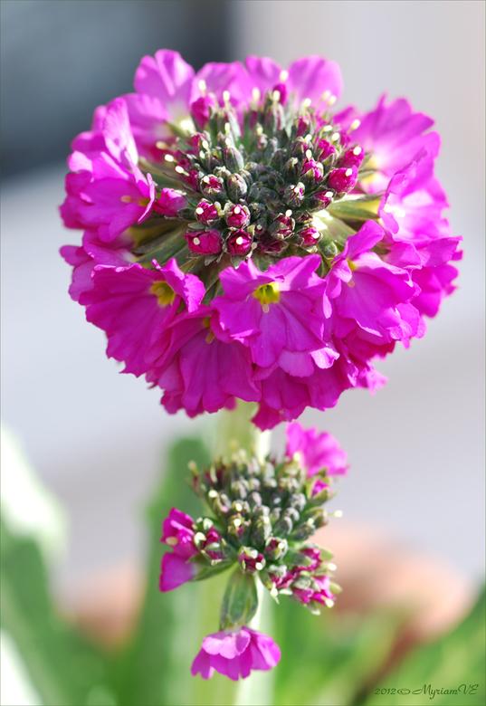 Primula denticulata - Nadat de vorst van de voorbije weken mijn - toch winterharde - bloembakplanten had verwoest, kon ik het niet meer aanzien en heb