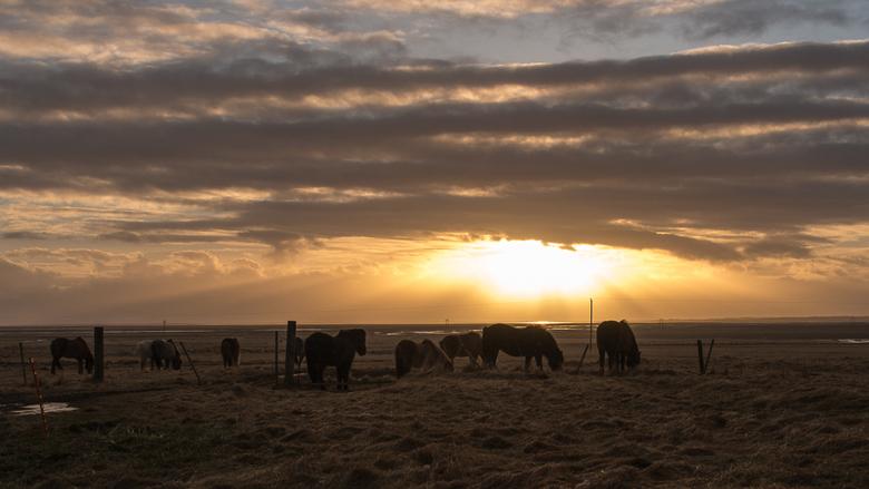 IJslandse paarden -
