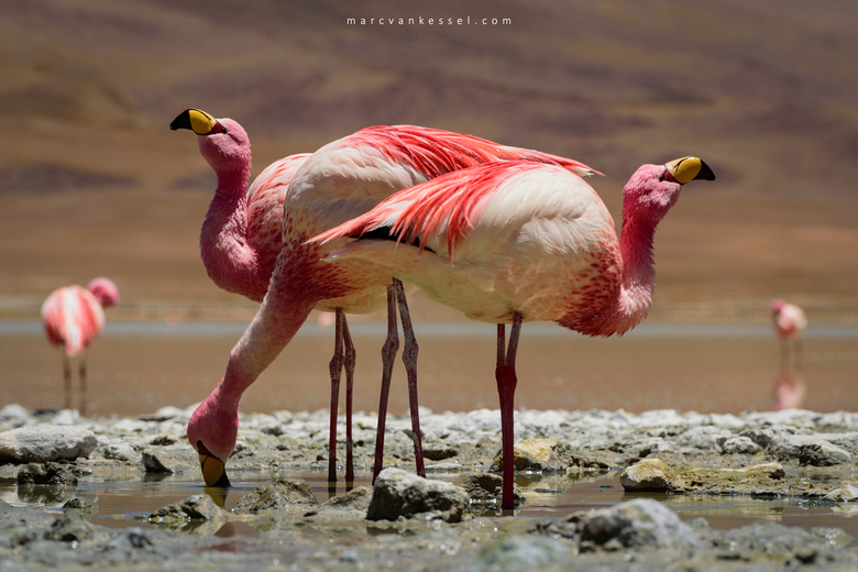 Los tres - Flamingo's op Bolivia's Altiplano