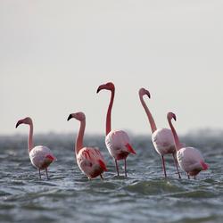 Flamingo op bezoek in Holland