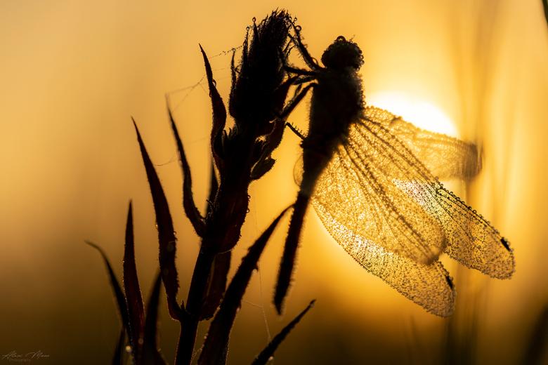 Silhouet - Mooie silhouet gecreëerd van een libel met tegenlicht. Het scheen mooi door de vleugels heen, zodat ook de dauwdruppels goed zichtbaar ware