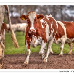 Koeien - 1