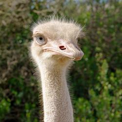 Struisvogel vrouw (1)