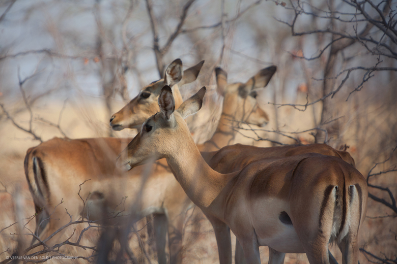 Beautiful Impala's -