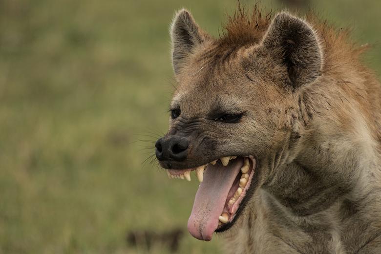 Geeuwende hyena -