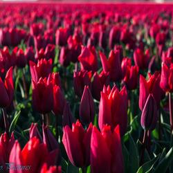 tulpen in het grootste bollen gebied van Europa