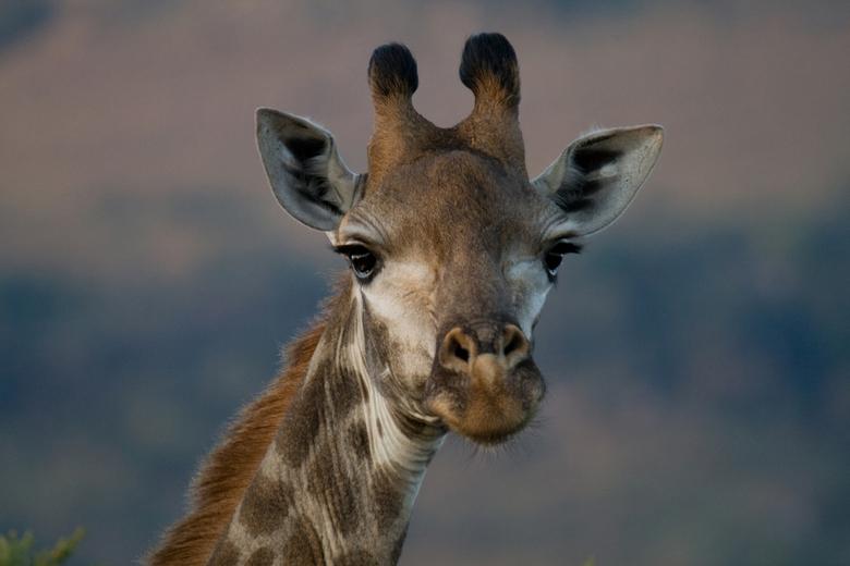 Giraffe - Giraffe bij ondergaande zon in Zuid-Afrika