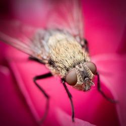 Vlieg in roze