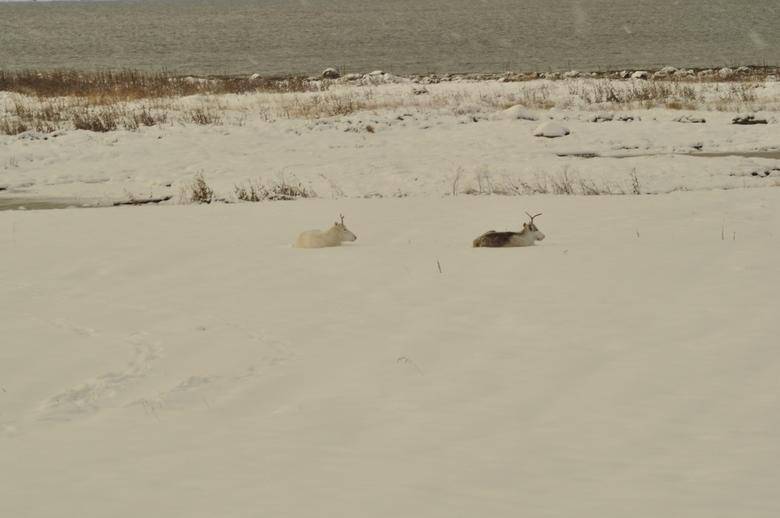 Rendieren  - Rendieren in Noord-Noorwegen