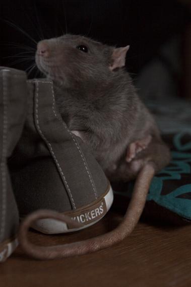 Petrol.. - Dit is onze rat Petrol.. Hij was een beetje geïnteresseerd in mijn schoenen..