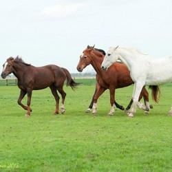 Mooie paarden in de wei III