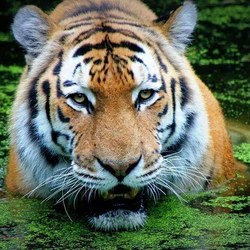 Grrrr....koning van dieren