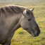 Konikpaard natuurgebied Solleveld