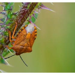 Purperen vruchtenschildwants (Carpocoris purpureipennis)