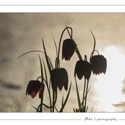 Kievitsbloemen in silhouet