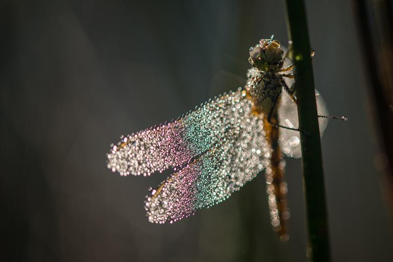 Kleurrijke libelle -