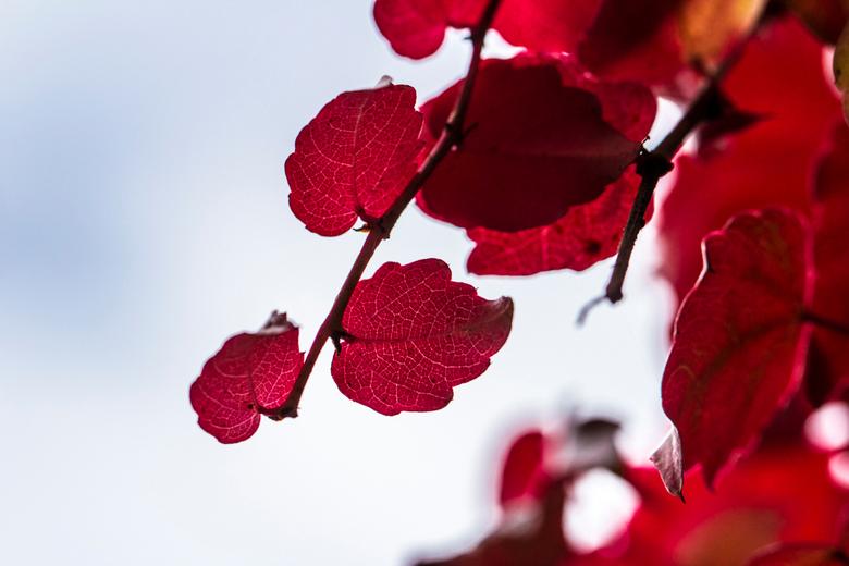 Druivenplant in herfst - Druivenplant in herfst