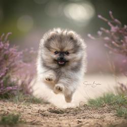 Pomeranian in actie