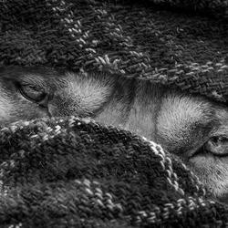 hondse 'nomadenblik'