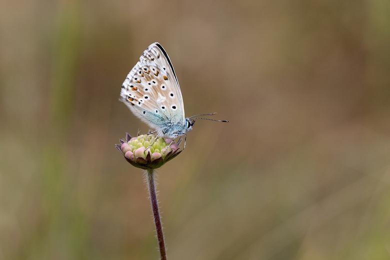 bleekblauwtje -