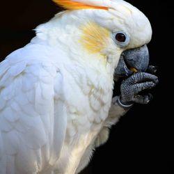 Oranjekuif kaketoe