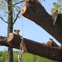 De leeuwen welpjes Zuna en Kimani nieuwschierig en op de uitkijk